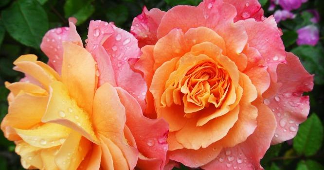 rosen-wertschaetzung